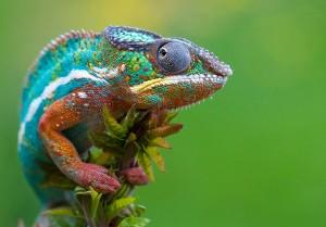 Camaleón-colorido